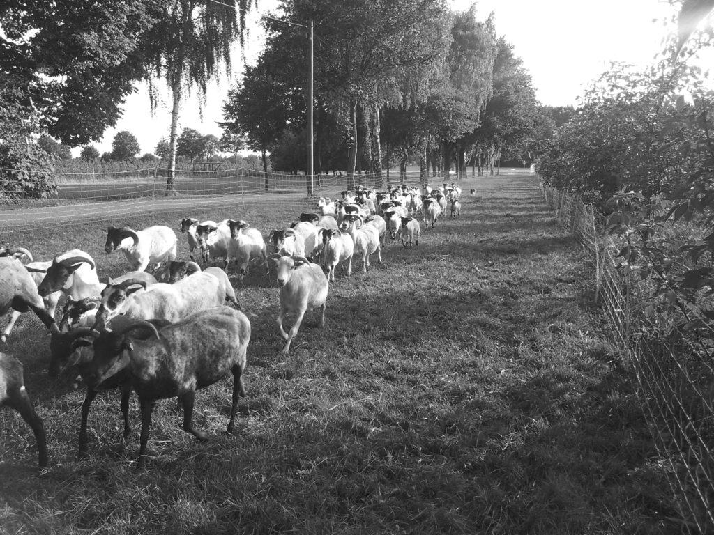 Schafe umtreiben Ⓒ Hardi P.Schaarschmidt