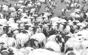 1400 Schafe bei 37° Ⓒ Hardi P.Schaarschmidt