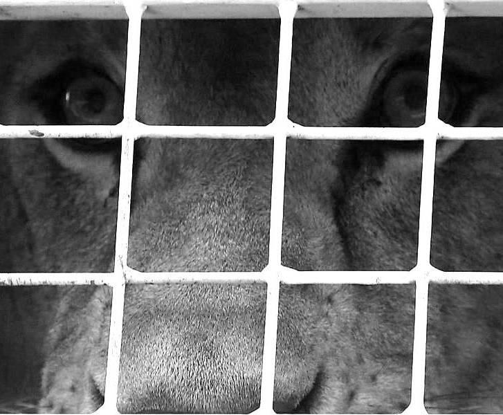 Löwen in Gefangenschaft, ein Trauerfall für den Tierschutz
