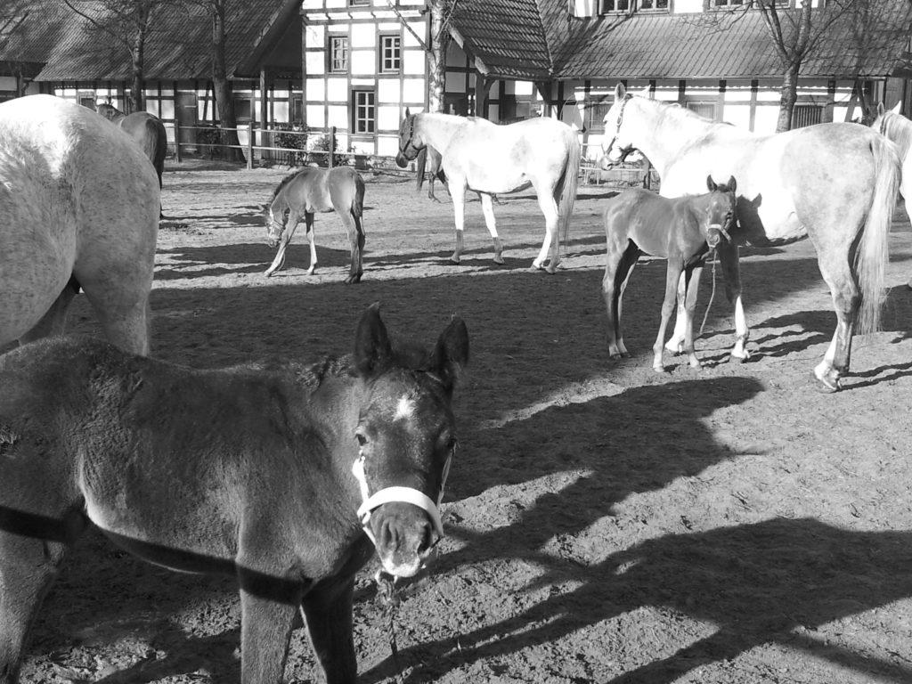 Arabische Pferde Ⓒ Hardi P.Schaarschmidt
