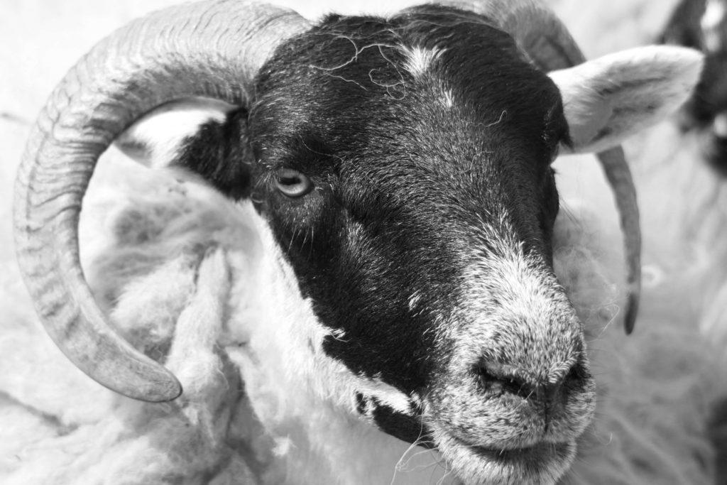 Shaun das Schaf Ⓒ H.P.Schaarschmidt