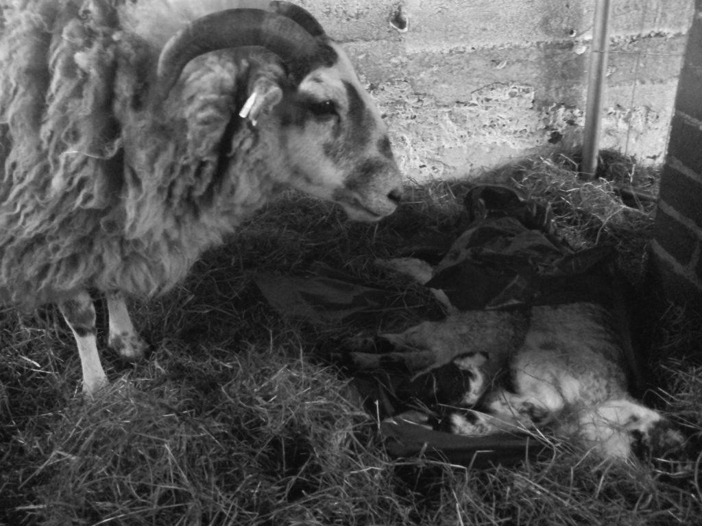 Eines meiner Schafe trauert Ⓒ Hardi P.Schaarschmidt