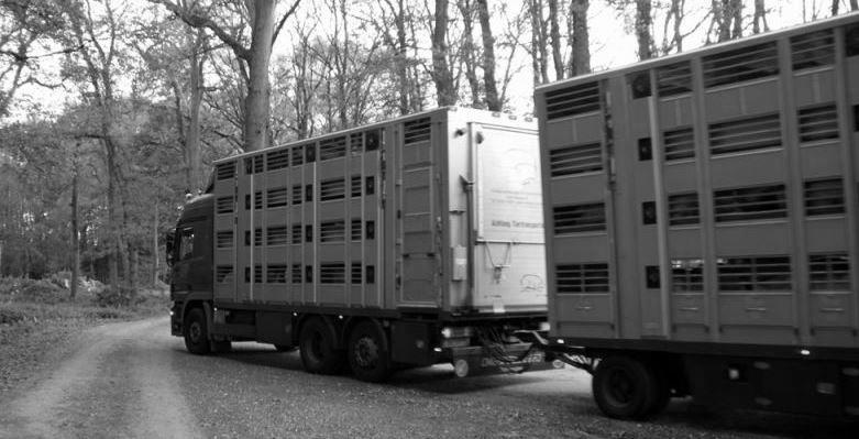 """Tiertransporter zum Schlachthof - Nach der Massentierhaltung fast eine """"Erlösung"""""""